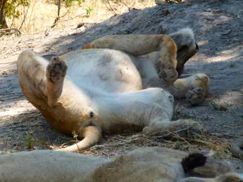 Lion on her back after a meal, Khwai River