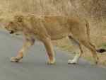 Lions stop traffic in Kruger NP South Africa