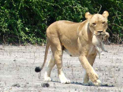 Lioness carries newborn cub