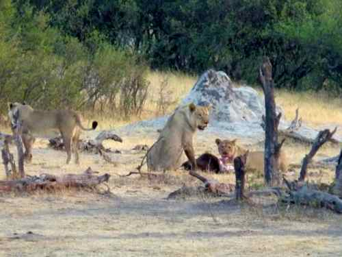 Lions at a kill - The Hide, Hwange NP