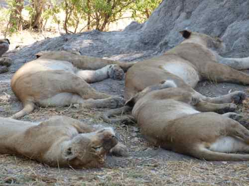 Lion pride resting, Khwai River