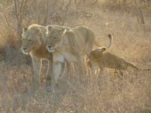 Lion pride at Timbavati