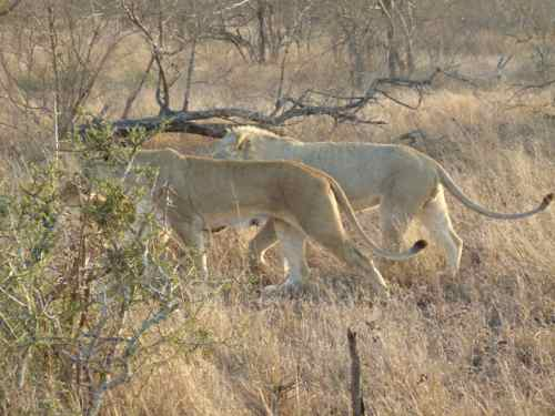 Lions on the move Timbavari, South Africa