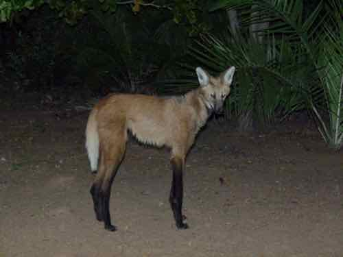 Maned Wolf in Brazil
