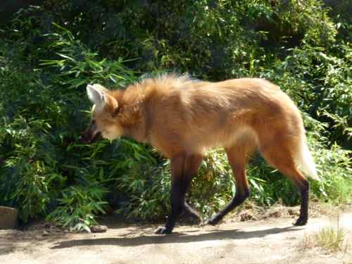 Maned Wolf at San Diego Zoo