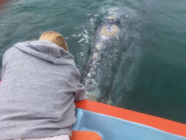 Gray whale right up to the boat