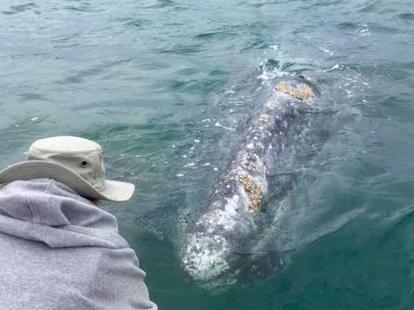 Gray whale checks out the boat