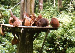 Orangutans at Sepilok Orangutan Rehabilitation Center