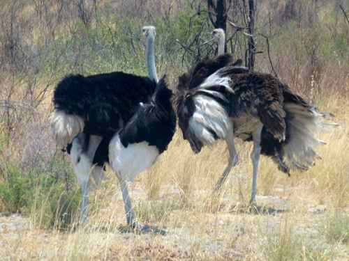 Ostrich by the road near Maun, Botswana