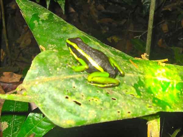 Poison Dart Frog - Manu, Peru