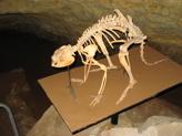 Prehistoric kangaroo Naracoorte Caves