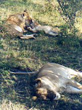 Prides of lions - mothers and baby lions - Africa