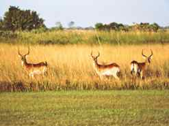 Red Lechwe on the runway at Camp Okavango Botswana