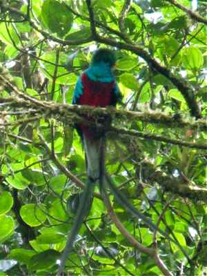 Male Resplendent Quetzal in Panama