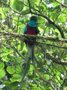 Resplendent Quetzal in Panama