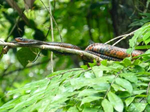 Rusty Whipsnake