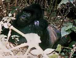 Silverback mountain gorilla waits for us
