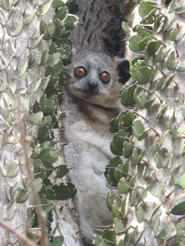 Sportive lemur in Spiny Forest Berenty