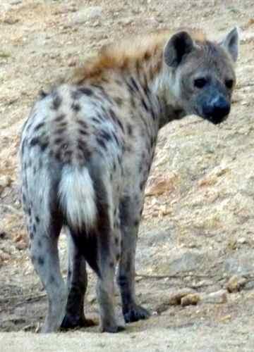 Spotten Hyena