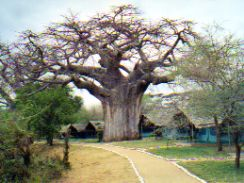 Tented Camp and baobab in Tarangire NP Tanzania - a little more basic