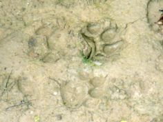 Jaguar tracks in the Pantanal