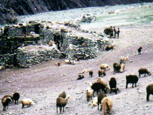 Camping with sheep herding nomads in Ladakh India