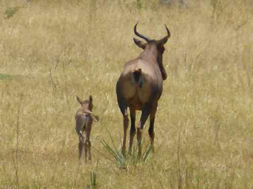Tsessebe Mum and baby