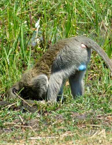 Vervet Monkey drinking