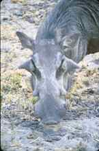 Warthog -- warts and all