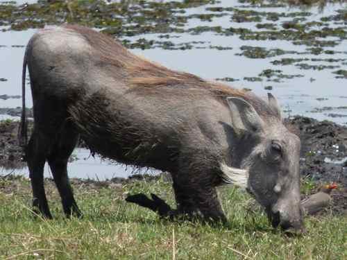 Warthog, Khwai River