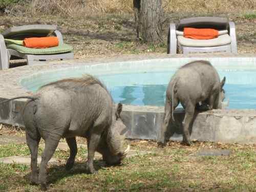 Warthogs drinking, Shindzela Camp