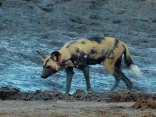 Wild Dog or Painted Wolf