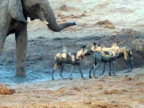 Wild Dogs and Elephants