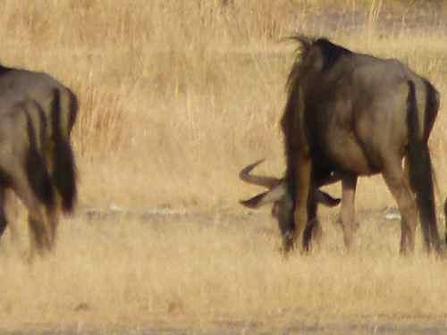 Wildebeest bumm