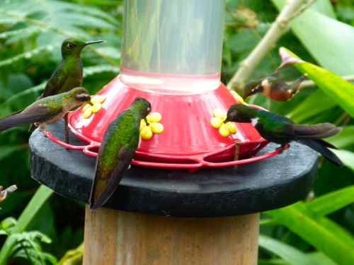 Hummingbirds at feeder Bellavista, Eduador