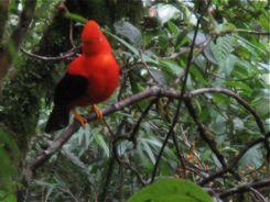 Peru's National Bird - Cock of the Rock