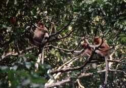 Proboscis Monkeys on the Kinabatangan River Borneo