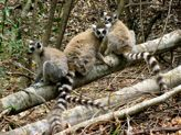 Ring-tailed lemurs, Berenty -  Madagascar