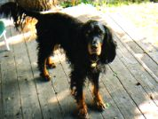 Skye our Gordon Setter