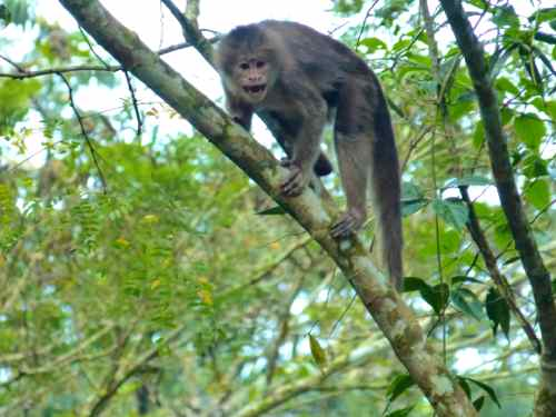 Angry Capuchin Ecuadorian Amazon