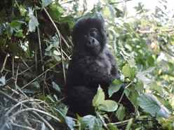 Baby Mountain Gorilla Volcanos NP Rwanda