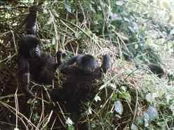 Baby Mountain Gorillas playing