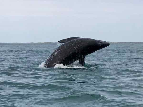 Baby Gray Whale breaching