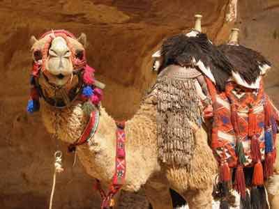 Camel in Petra, Jordan