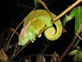 Chameleon - Ranamafana NP Madagascar
