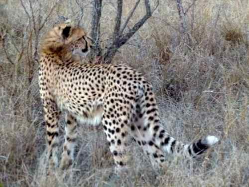 Young Cheetah, Timbavati, South Africa