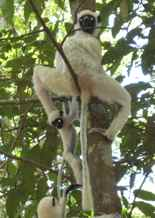 Decken's Sifaka - mom and baby