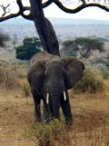 African elephant near tented camp