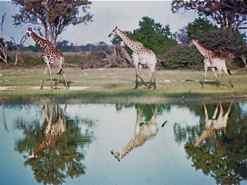 Giraffe reflected on pond near sunset