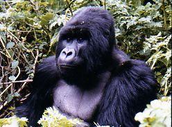 Silverback Mountain Gorilla Rwanda Africa